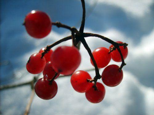 Калина червона для краси