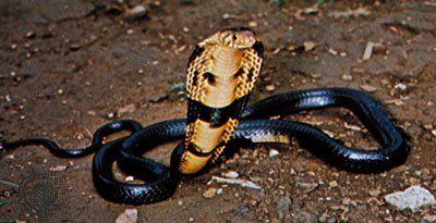 Перша допомога при укусі змії