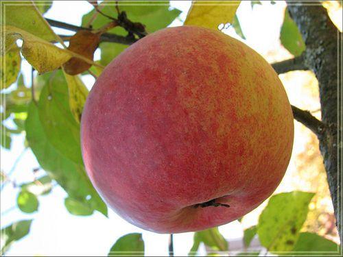 Застосування яблучного оцту в лікувальних цілях