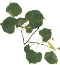 Рослини потогінний дії