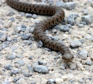 Укус отруйної змії